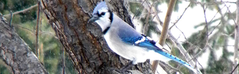 Chesterton Feed & Blue bird on a branch